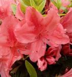 Kriechende Immergrüne Zwerg Azalee Komodo 15-20cm - Rhododendron nakaharai