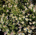 Myrtenaster Weißer Zwerg - Aster ericoides