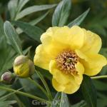 Gelbe Strauchpfingstrose - Paeonia lutea