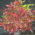 Traubenheide Traubenmyrte Red Cap 20-25cm - Leucothoe axillaris