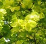 Bonsai Zwergulme Jacqueline Hillier 50-60cm - Ulmus hollandica