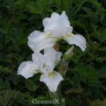 Mittelhohe Schwertlilie Avanelle - Iris barbata