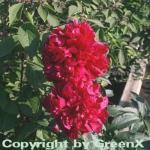 Edelpfingstrose Inspecteur Lavergne - Paeonia lactiflora