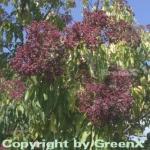 Bienenbaum - Samthaarige Stinkesche 60-80cm - Tetradium daniellii