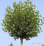 Hochstamm Steppenkirsche Globosa 80-100cm - Prunus fruticosa
