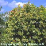 Schattenglöckchen Lavendelheide Forest Flame 30-40cm - Pieris japonica