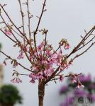 Hochstamm Zierkirsche Okame 100-125cm - Prunus Okame