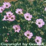 Storchenschnabel Ballerina - Geranium cinereum