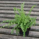 Frauenfarn Frizelliae - Athyrium filix femina