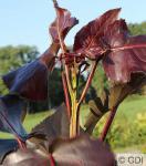 Purpur Pappel Purple Tower® 100-125cm - Populus deltoides