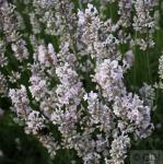 Echter Lavendel Arctic Snow - großer Topf - Lavandula angustifolia