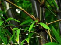 Schwarzrohrbambus 60-80cm - Phyllostachys nigra