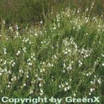 10x Irische Heide Alba - Daboecia cantabrica