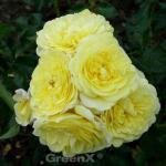 Hochstamm Rose Solero® 80-100cm
