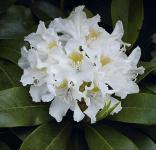 Großblumige Rhododendron Cunningham White 25-30cm - Alpenrose