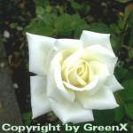 Edelrose Polarstern® 30-60cm