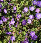 Storchenschnabel Buxtons Blue - Geranium wallichianum