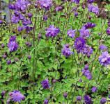 Akelei Blue Barlow - Aquilegia vulgaris