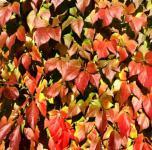 Wilder Wein 60-80cm - Parthenocissus inserta