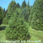 Zwerg Hibalebensbaum 10-15cm - Thujopsis dolabrata