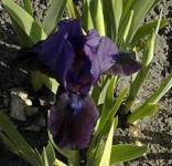 Schwertlilie Superstition - Iris barbata