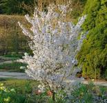 Schlanke Blütenkirsche Spire 100-125cm - Prunus hillieri