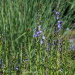 Stauden Lobelie - Lobelia sessilifolia