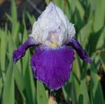 Schwertlilie Arpege - Iris barbata
