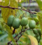 Selbstfruchtende Kiwi Issai 40-60cm - Actinidia arguta