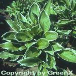 Schmalblattfunkie Albomarginata - Hosta undulata