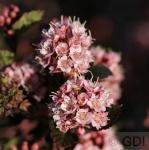 Hochstamm Blasenspiere Tiny Wine 80-100cm - Physocarpus opulifolius