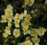 Sonnenröschen Cornish Queen - Helianthemum