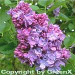 Edelflieder Katharine Havemeyer 100-125cm - Syringa vulgaris