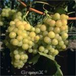 weiße kernlose Weinrebe Primus 80-100cm - Vitis