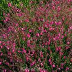 10x Irische Heide Waleys Red - Daboecia cantabrica