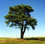 Waldkiefer 100-125cm - Pinus sylvestris