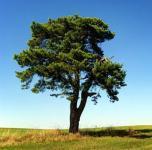 Waldkiefer 80-100cm - Pinus sylvestris
