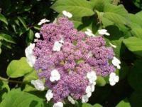 Rauhblättrige Hortensie 60-80cm - Hydrangea villosa