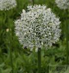 Zierlauch White Giant - Allium stipitatum