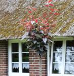 Hochstamm Blut Nelkenkirsche 80-100cm - Prunus serrulata
