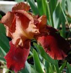 Schwertlilie Natchez Trace - Iris barbata