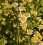 Mutterkraut Golden Moss - Tanacetum parthenium