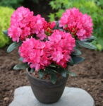 INKARHO - Rhododendron Helgoland 50-60cm - Alpenrose
