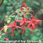 Fuchsie Riccartoni - Fuchsia magellanica