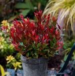 Traubenheide Little Flames 20-25cm - Leucothoe fontanesiana