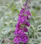Schmetterlingsstrauch Pink Purple 30-40cm - Buddleja