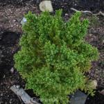 Japanische Sicheltanne Pipo 80-100cm - Cryptomeria japonica