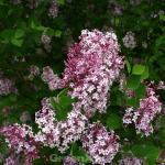 Hochstamm Edelflieder Bloomerang® Pink Perfume 100-125cm - Syringa