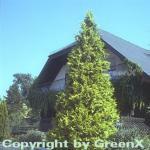 Gelbe Gartenzypresse Golden Wonder 80-100cm - Chamaecyparis lawsoniana