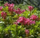 Bewimperte Alpenrose 10-15cm - Rhododendron hirsutum